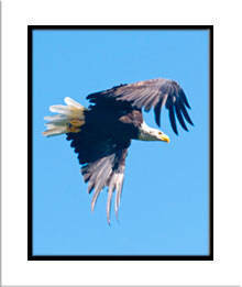 matted photo of eagle